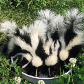 Spunky skunks!