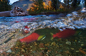 No action to protect wild salmon -- one full year after